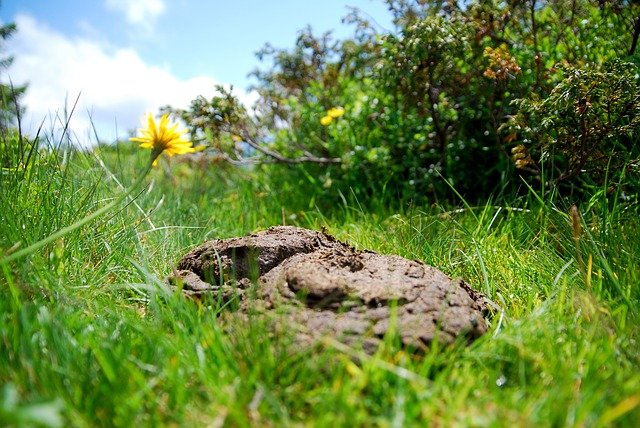 benefits of cow dung
