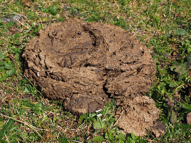 cow dung as an Insect Repellant